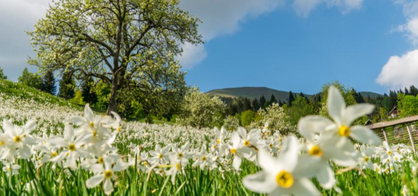 Narcise trenutno cvetijo v srednjih nadmorskih legah, npr. v Javorniškem Rovtu in Planini pod Golico, na rovtih pod Golico, v nižjih legah (Plavški Rovt) je višek cvetenja že mimo. Na Golici se narcise šele odpirajo.